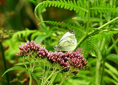 HolderSmall White butterfly