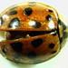 Small photo of Mummified Ladybug