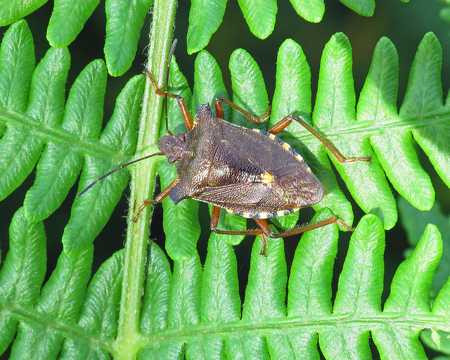 Red-legged Shieldbug - Pentatoma rufipes