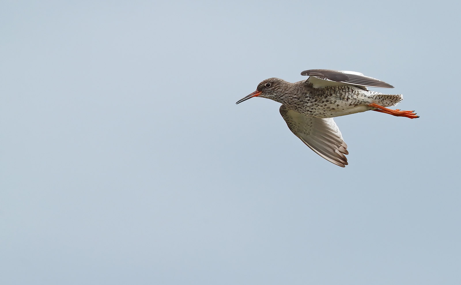 Redshank displaying