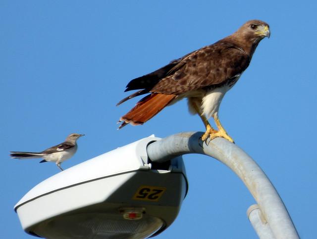 Mocking Bird Red Tail, Panasonic DMC-FZ70