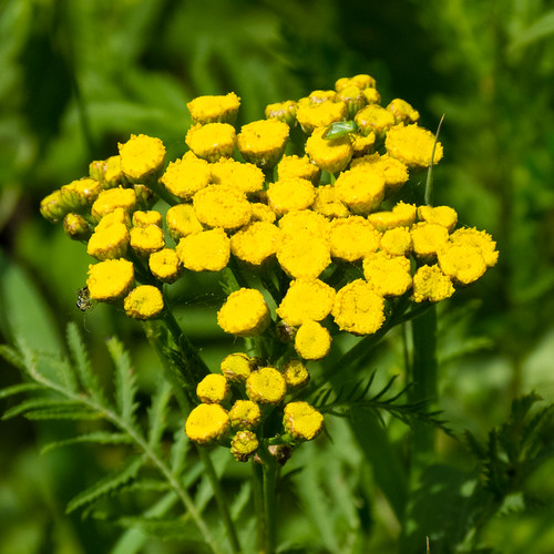 Tansy flowers (with bonus insect)