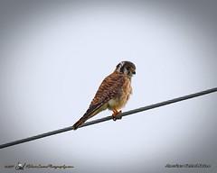 2017-07-19_P7191425_American Kestrel Falcon,clwtr