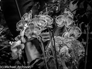 Orchids (bw) | by AtchisonGallery