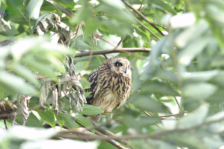 Short-eared_Owl_3963