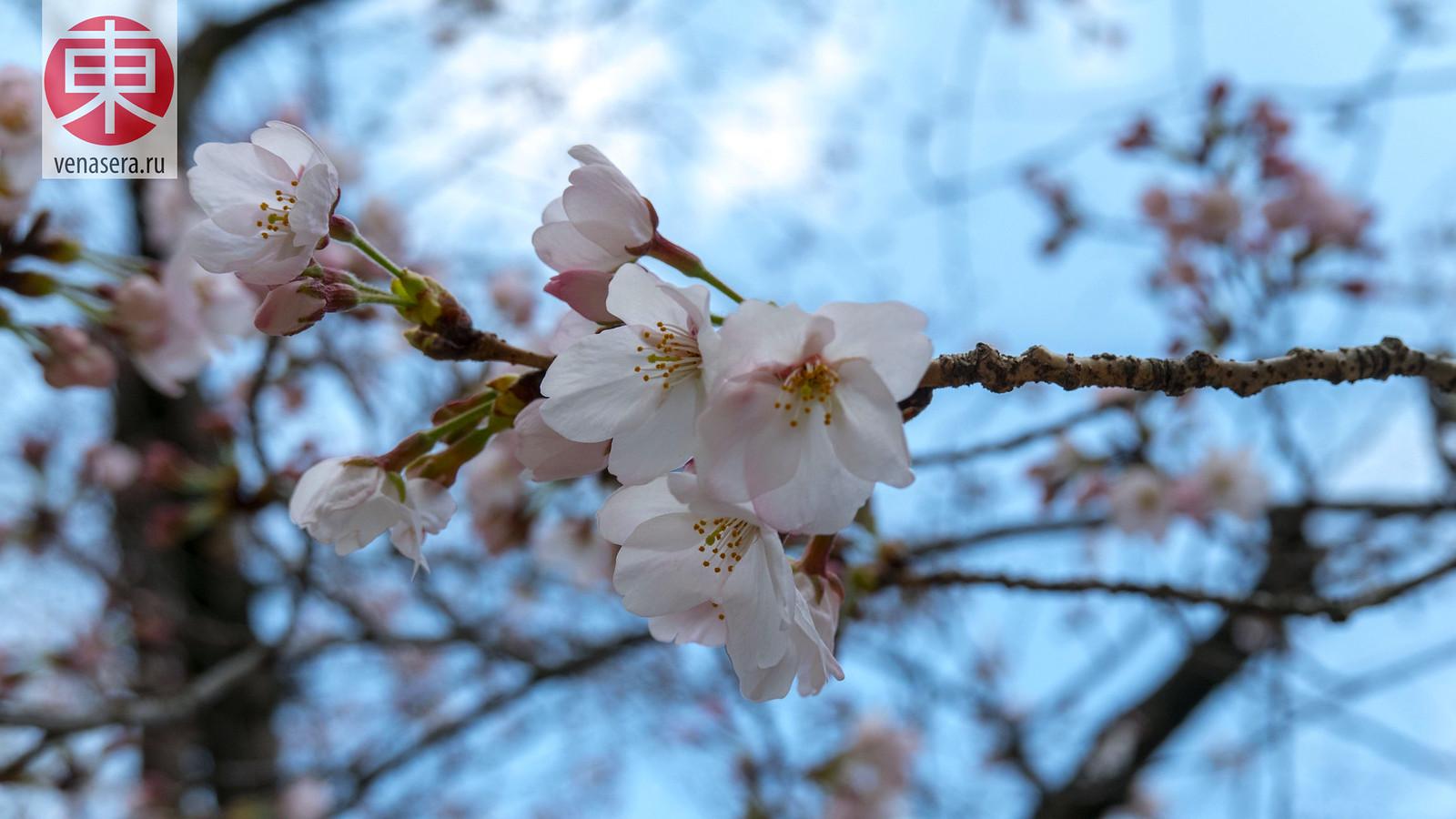 Сакура в г. Хиросима, Япония.