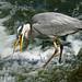 Heron Clumber Park IMG_4269