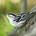 Black and White Warbler (James Lees)
