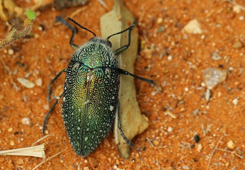 Jewel Beetle - Julodis sp - Namibia (1)