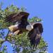 Ando the Bald Eagle by Omnitrigger
