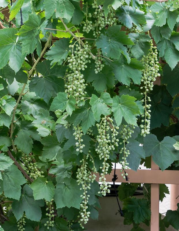 grapes-20170716-102