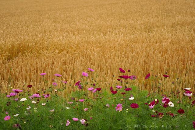 秋桜と秋まき小麦