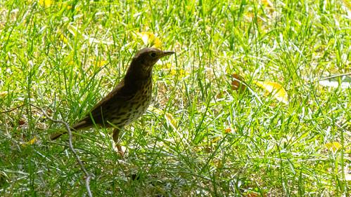 Alert song thrush in short grass