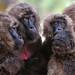 Gelada Baboons (Helen Pinchin)