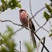 Long-tailed Rosefinch (Alan Curry)