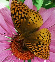 Great Spangled Fritillary Butterfly 20170702_140449-6.jpg