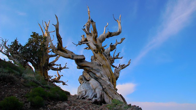 Morning in the Ancient Bristlecone Pine Forest