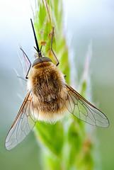 Subfamily Bombyliinae