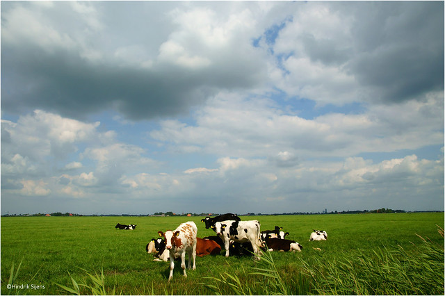 Cattle and Clouds