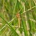 Black Darter Female