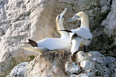 HolderGannets nesting