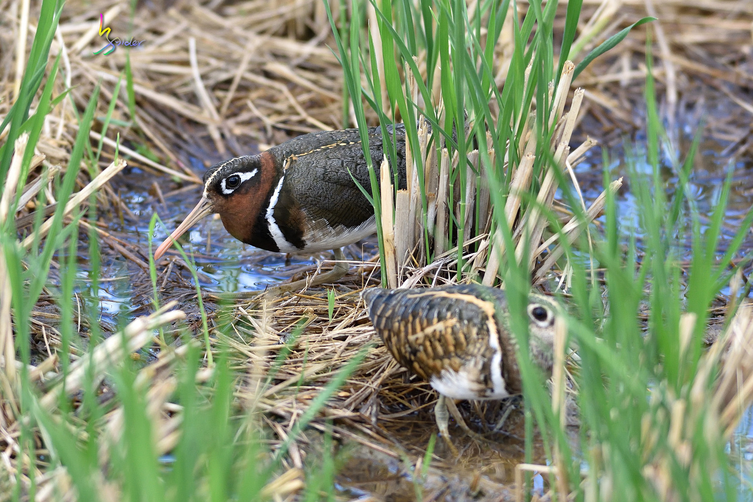 Painted_Snipe_1302