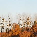 Photos des lecteurs | Le gui - viscum albul