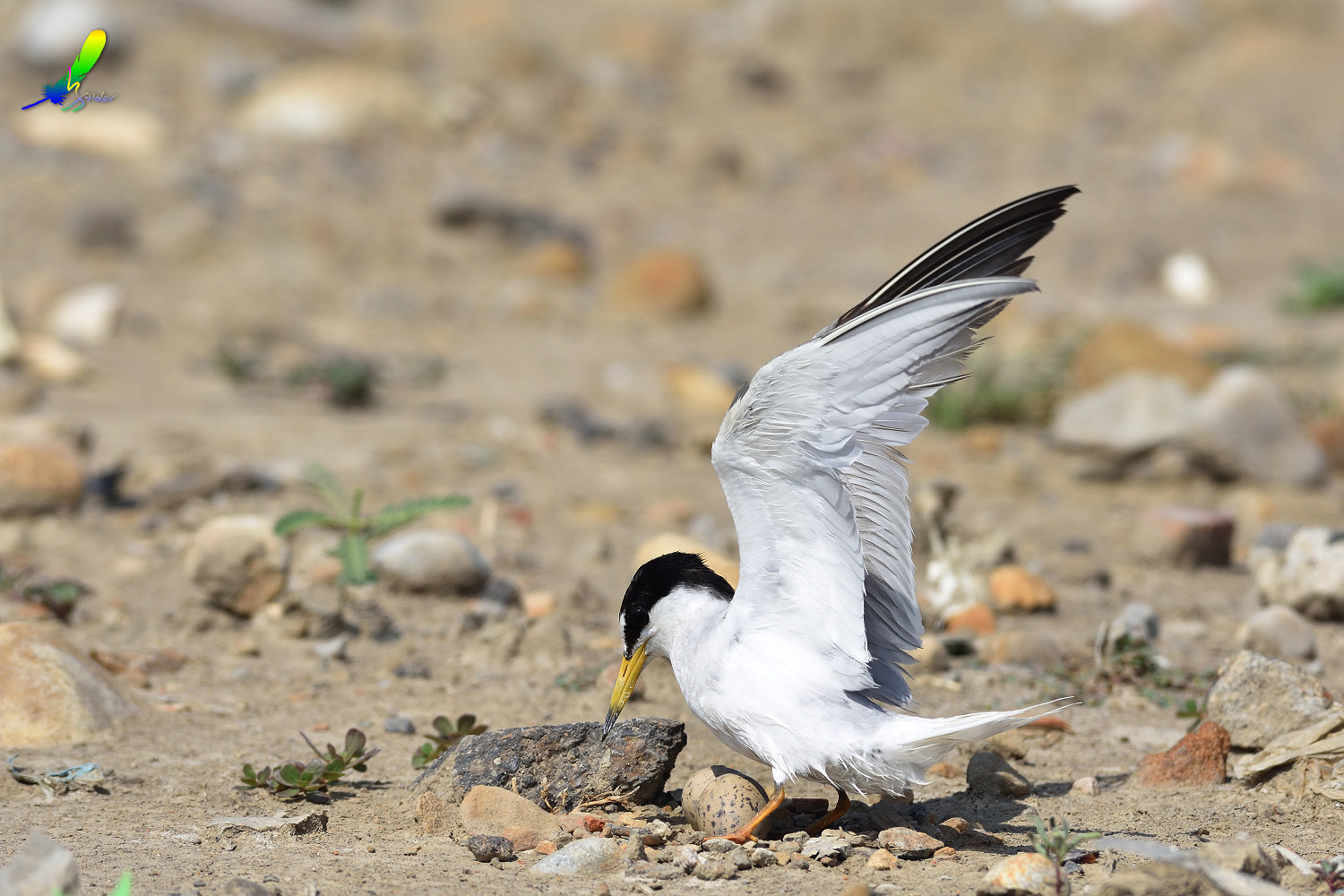 Little_Tern_9423