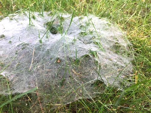 spiderweb funnelspider nature ansh80 antsview scavenger1