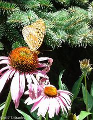 Great Spangled Fritillary Butterfly 20170702_140047-1.jpg