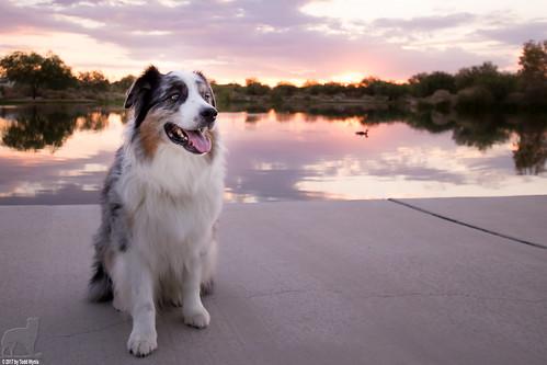 aussie australianshepherd sunrise portrait