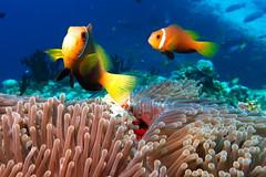 Maldivian Clownfishes