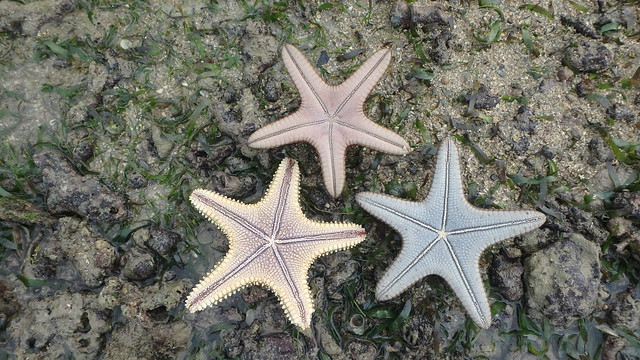 Knobbly sea star (Protoreaster nodosus) and Pentaceraster sea star (Pentaceraster mammillatus)