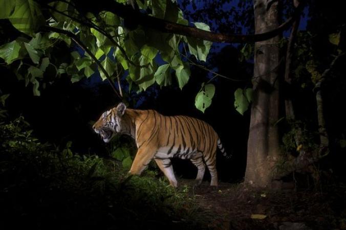 เสือโคร่งอินโดจีน