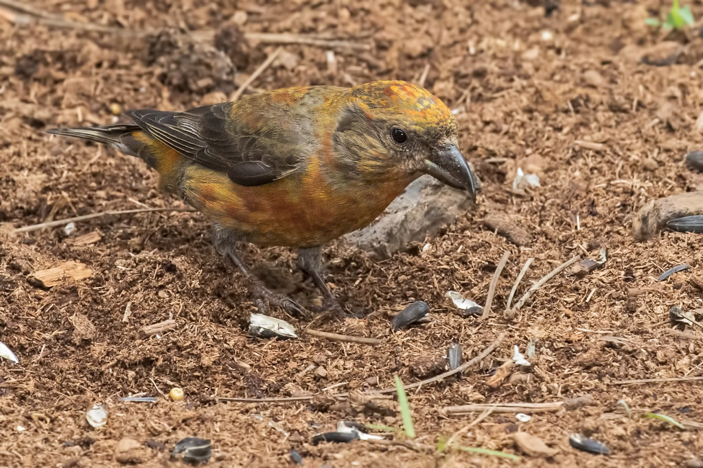 Red-Crossbill-1-7D2-072817
