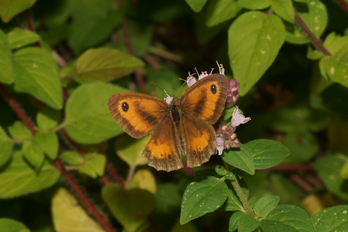 Gatekeeper (Pyronia tithonus), m