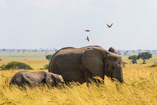 Elephant mother and calf kicking up insects for the bee-eaters