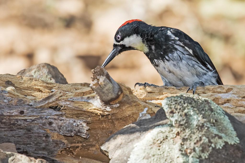 Acorn-Woodpecker-59-7D2-070317