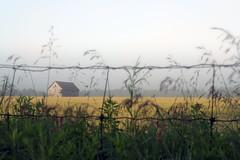 Foggy morning at my fav. wheatfield and barn