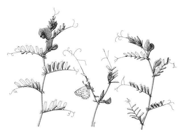 Azuré commun sur une vesce commune
