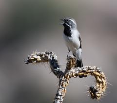Black-throated Sparrow (Amphispiza bilineata)_DSC3761-editCC
