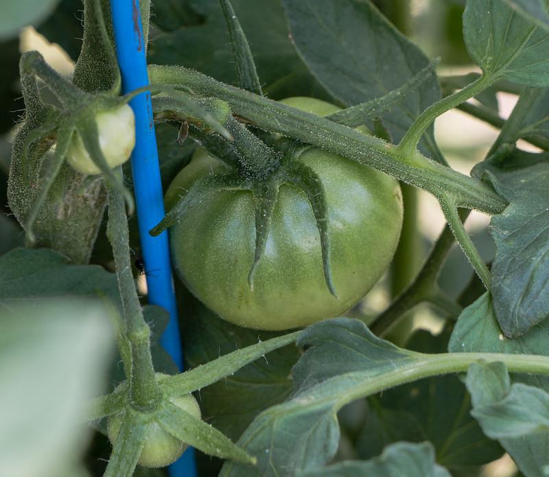 tomatoes-20170716-100