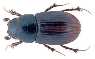 Plagiogonus syriacus (Harold, 1863) Syn.: Aphodius (Plagiagonus) syriacus Harold, 1863