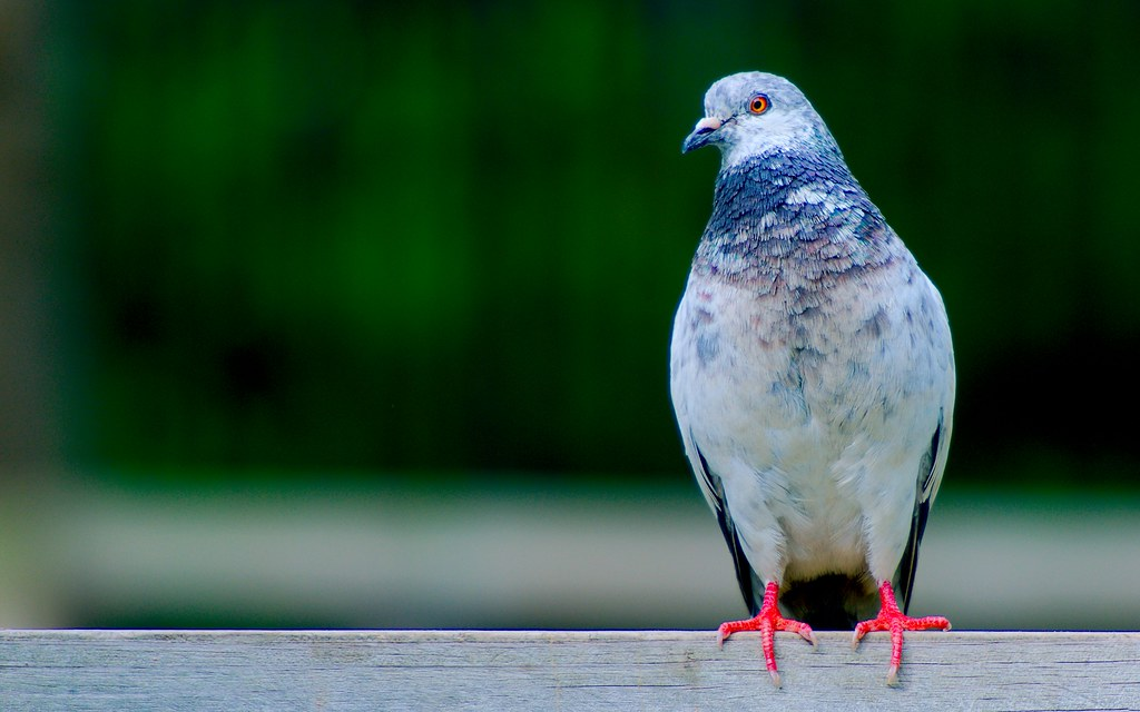 Pigeon_6