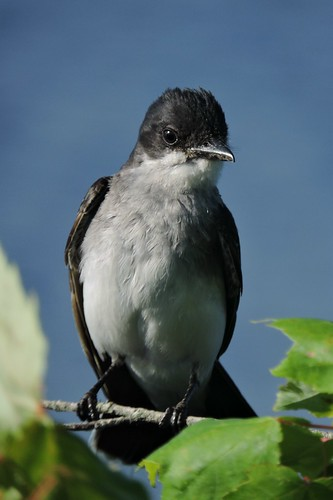 #70 Eastern Kingbird