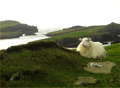 Smiling sheep on Valentia Island