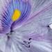 Water hyacinth flower close up shot