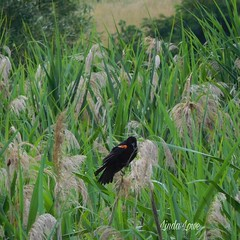 Red winged blackbird at Chagrin River Park