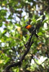 Flame throated warbler Oreothlypis gutturalis