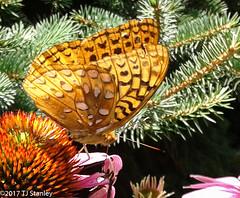 Great Spangled Fritillary Butterfly 20170702_140156-4.jpg